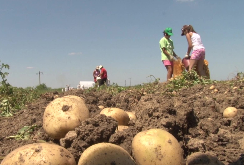 cartofi 1 agricultura