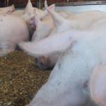 ALARMANT: Embargoul rusesc la carnea provenită din UE îi bagă în falim...