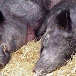 PRAHOVA: Au braconat porci mistreţi folosindu-se de suliţe!