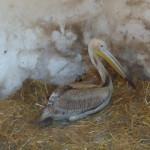 DÂMBOVIŢA: Un pui de pelican s-a rătăcit la Titu. L-a salvat Asociaţia...