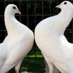 PRAHOVA: Au furat porumbei voiajori de competiţie în valoare de un mil...