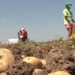COSTURI: Agricultură pe pierdere! Producătorii de cartofi nu au bani s...
