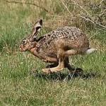 GIURGIU: Au poftit la iepuri şi s-au ales cu dosare penale
