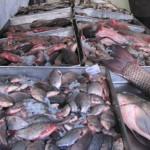 PRAHOVA: 57 de tone de peşte au fost confiscate de poliţiştii antifrau...