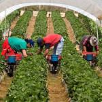 ANOFM: 800 locuri de muncă disponibile la cules de căpşuni în Spania