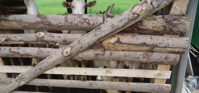 dragomiresti capre 1