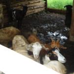 PROPUNERE: Medicamentele pentru animale vor fi autorizate mai uşor!