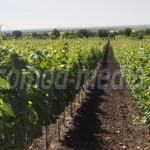PRAHOVA: Viticultura a renăscut cu fonduri europene nerambursabile în ...