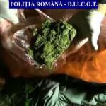 PRAHOVA: Desişul cu cannabis! Poliţiştii au descoperit 119 plante cult...