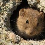 CĂLĂRAŞI: Invazie de şoareci pe câmp! 30% din producţia de grâu, orz ş...