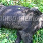 DÂMBOVIŢA: Urs braconat la Voineşti! Sătenii l-au găsit mort într-o li...
