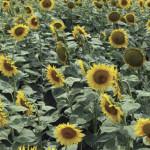 TELEORMAN: Atac în lanul cu floarea soarelui! Hoţii furau periodic din...