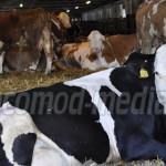 SEMNAL: Fermierii români nu pot exporta animale din cauza birocraţiei!