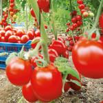HOTĂRÂRE: Cultivatorii de tomate în spaţii protejate primesc  şi în 20...