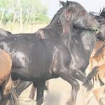 CĂLĂRAŞI: 72 de cai cumpăraţi fără acte sanitare! Urmau să fie tăiaţi ...