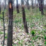 DÂMBOVIŢA: Pădurile sunt pline de leurdă, iar noi plătim 1,8 lei pe tr...