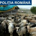 DÂMBOVIŢA: Pe urma oilor furate! Percheziţii la două stâne din zona Mo...