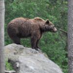 ARGEŞ: Maşină făcută praf de urşi, în zona montană Dâmbovicioara-Brust...