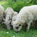 DÂMBOVIŢA: Au furat o turmă de oi de pe islazul satului Sturzeni!
