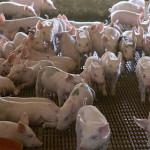HOTĂRÂRE: România şi-a stabilit strategia împotriva pestei porcine afr...
