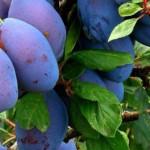 PRUNELE, fructele-minune! Efectele sunt de-a dreptul uimitoare
