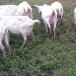 AŞA NU! A călcat cu maşina oile şi caprele găsite la păscut pe terenul...