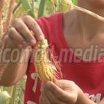 ORDONANŢĂ: Când şi ce compensaţii acordă Guvernul producătorilor agric...