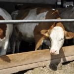 OBLIGAŢII: Deţii trei vaci în gospodărie, plăteşti impozit la stat