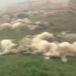 TRAGEDIE: Un cioban şi oile sale au fost trăsniţi în Munţii Bucegi