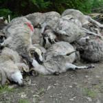 SEMNAL: Animalele sălbatice au devenit pericol naţional fiindcă nu sun...