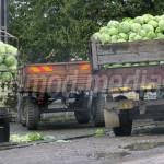 PROFIT: Producţie bună de varză, agricultorii sunt mulţumiţi şi de pre...