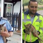 ARGEȘ: Doi pui de căprioară, salvați de șeful Postului de Poliție Cotm...