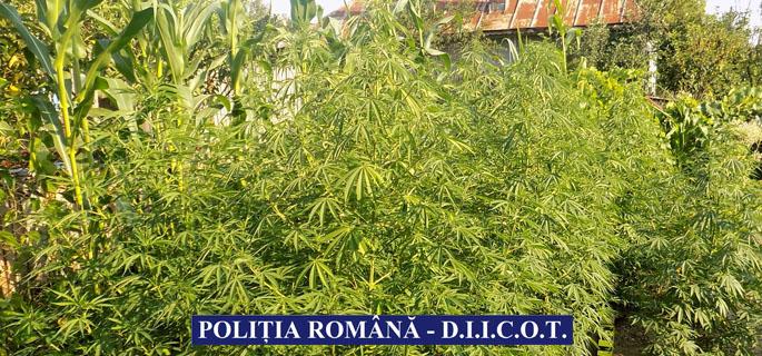 plante cannabis