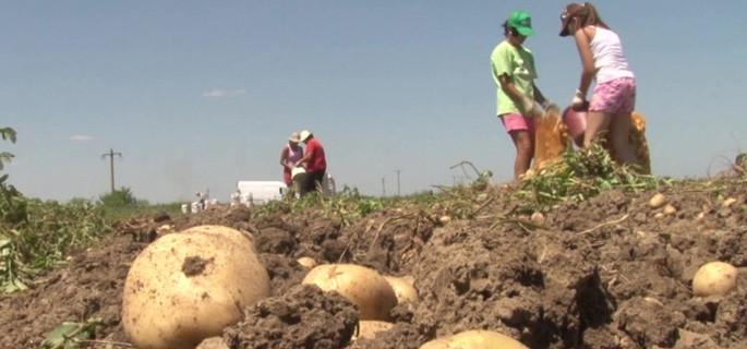 cartofi agricultura k