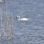 DÂMBOVIŢA: Păsări exotice pe lacurile de la Nucet