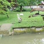 DÂMBOVIŢA: Pelicanul salvat de Asociaţia Sufleţel a fost integrat în h...