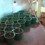 DÂMBOVIŢA: Cannabis la ghiveci! Poliţiştii au reţinut doi suspecţi. VI...