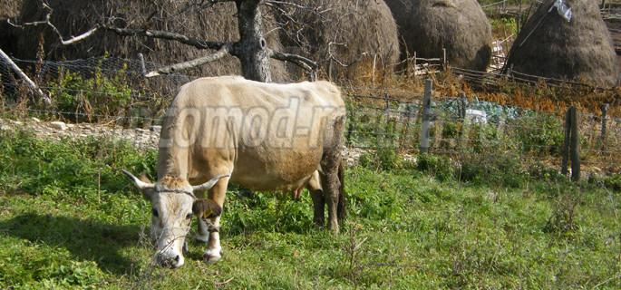 agricultura vaca