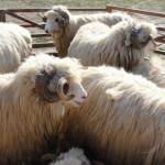 ARGEŞ: Bucureşteni, prinşi la furat de ovine în comuna Răteşti