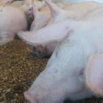 TELEORMAN: Tâlhărie la ferma de porci din Smârdioasa!