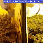 ANCHETĂ: Un bărbat din Capitală cultiva cannabis în casa de la ţară, î...